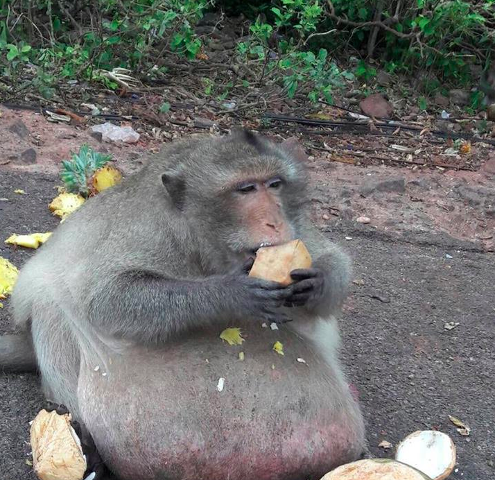 "Even monkeys have their fat days - just look at ""Uncle Fat"" from Thailand and his counterparts in Japan - Alvinology"