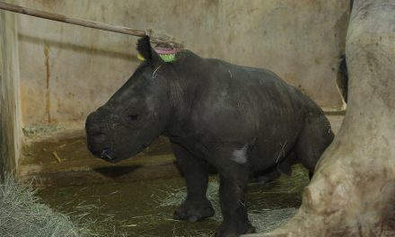 Singapore Zoo's Donsa delivers first white male baby rhino in 5 years without anyone around!