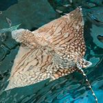 Endangered Ray Finds Its New Home at S.E.A. Aquarium