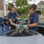 S.E.A. Aquarium's Two Rescued Sea Turtles  Return to the Wild after Specialised Care and Rehabilitation