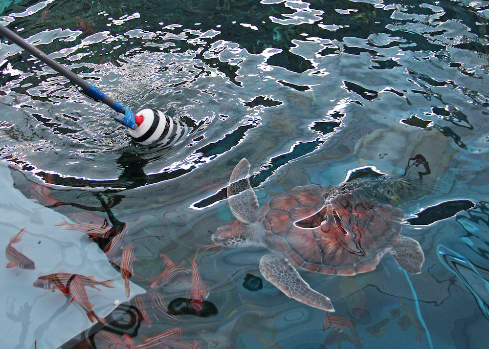 S.E.A. Aquarium's Two Rescued Sea Turtles  Return to the Wild after Specialised Care and Rehabilitation - Alvinology