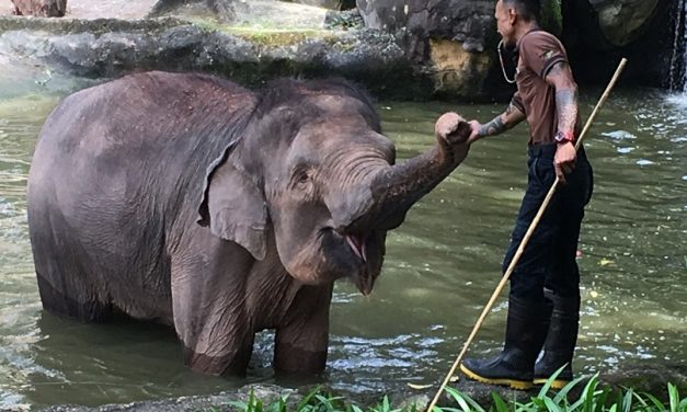 Singapore Zoo revamps Elephant Presentation