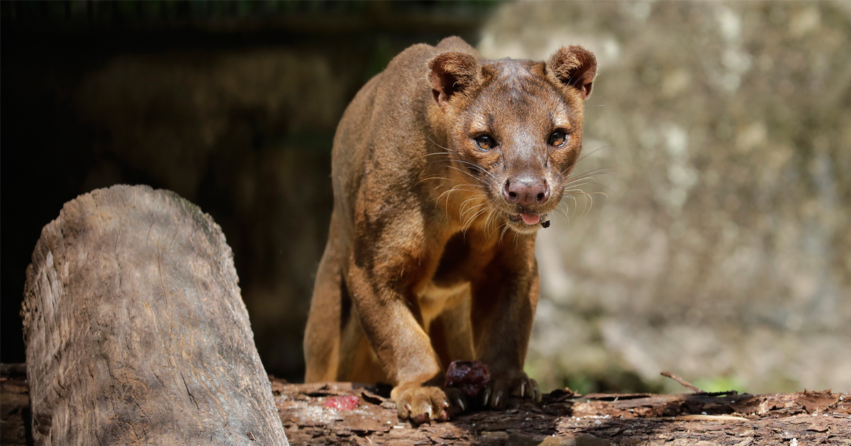 Cat, dog, or mongoose? Fossa – Madagascar's Top Predator makes its way to Singapore Zoo