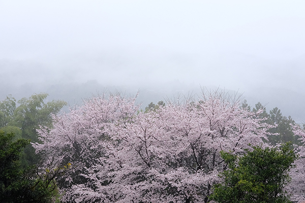 5 off-the-beaten-path cherry blossom tours to consider - Alvinology