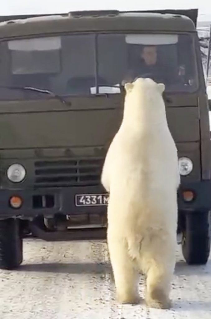 Hungry Polar Bears Raid Rubbish Truck in Russia with Driver inside - Alvinology